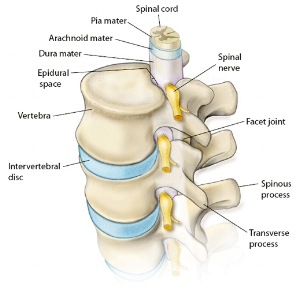 Spine_Anatomy.jpg