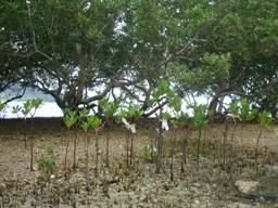 good mangrove.jpg