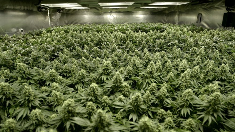 Sea of Green method for cannabis production.