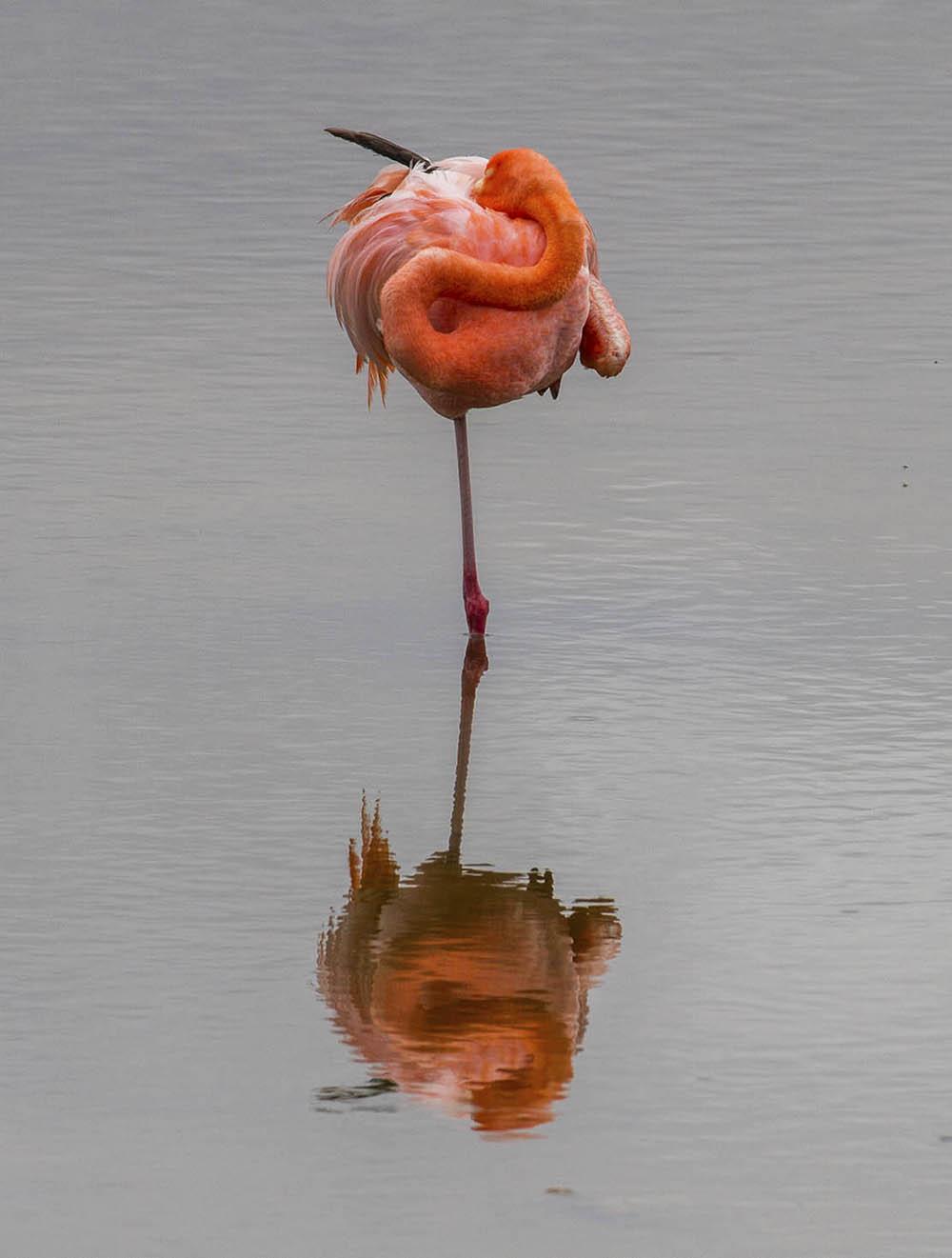 Galápagos. Ecuador.  A stylish flamingo.