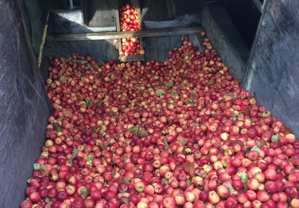 Sharpest of sharps: tiny Wickson apples meet a sunbeam on their way to the press. Wickson juice lights up cider blends with floral aromas, fruity flavors - and the keenest, cleanest acid.