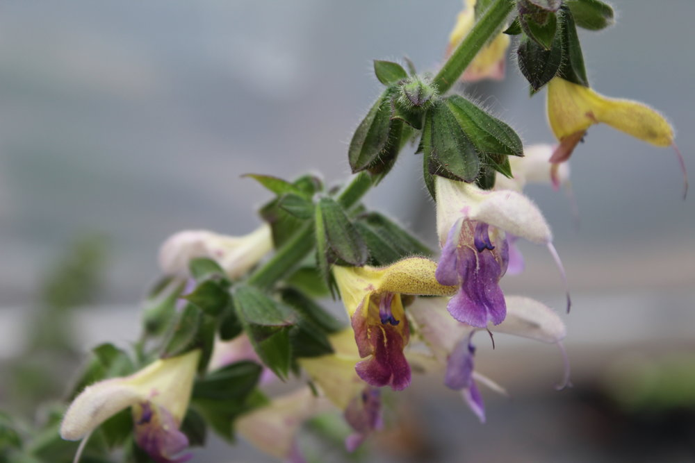 h trident flower.JPG