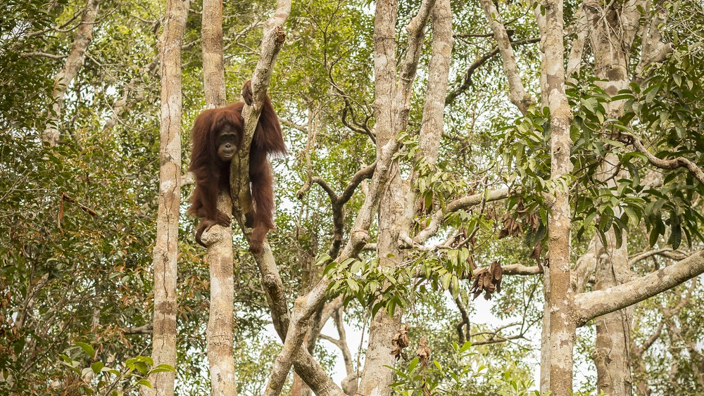 Deforestation driven by palm oil production is threatening endangered animals like orangutans. Photo credit: Friends of the Earth