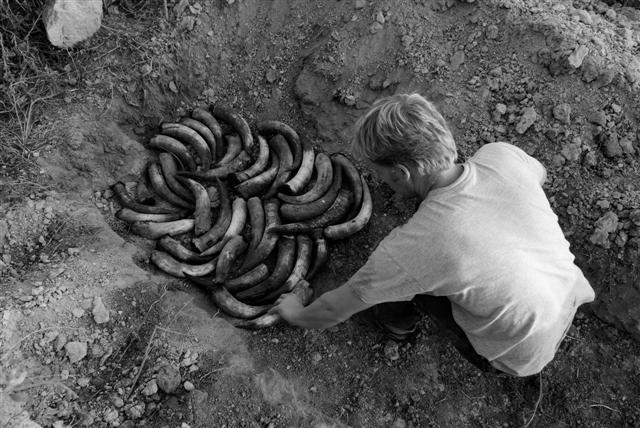 På Biletet kan ein sjå Guillaume som fyller kuhorn frå døde dyr med kumøkk og pulverisert kvarts. I vinmarka vert kuhorna gravd ned over vinteren, for seinare å sprøyte på bakken og plantene.