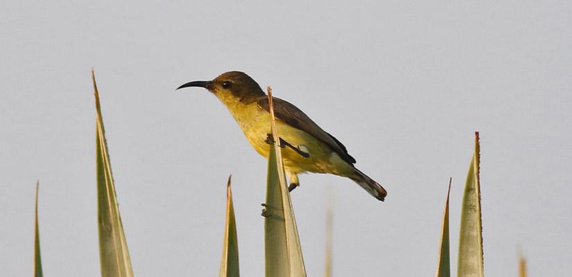 Photo Credit:  Irish Bird Images
