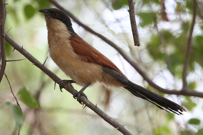 Senegal Coucal - AKA The Bird That Almost Got Me Arrested ( Source )