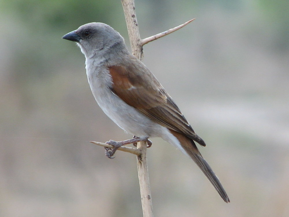 Northern Grey-Headed Sparrow ( Source )