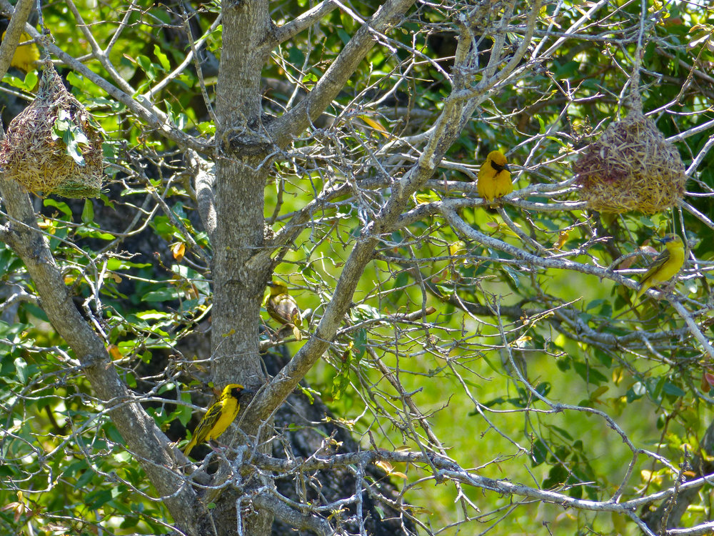 Village_Weavers_(Ploceus_cucullatus)_in_nesting_tree_(11464472834).jpg
