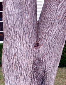 Tree Truck Branch(crotch grain) -