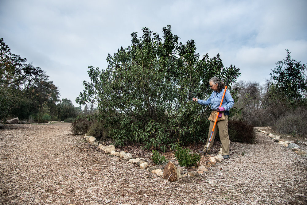 Barbara and a 4 yr old Laurel Sumac, at the Arroyo Seco Nature Park.  (Photo: David Newsom)