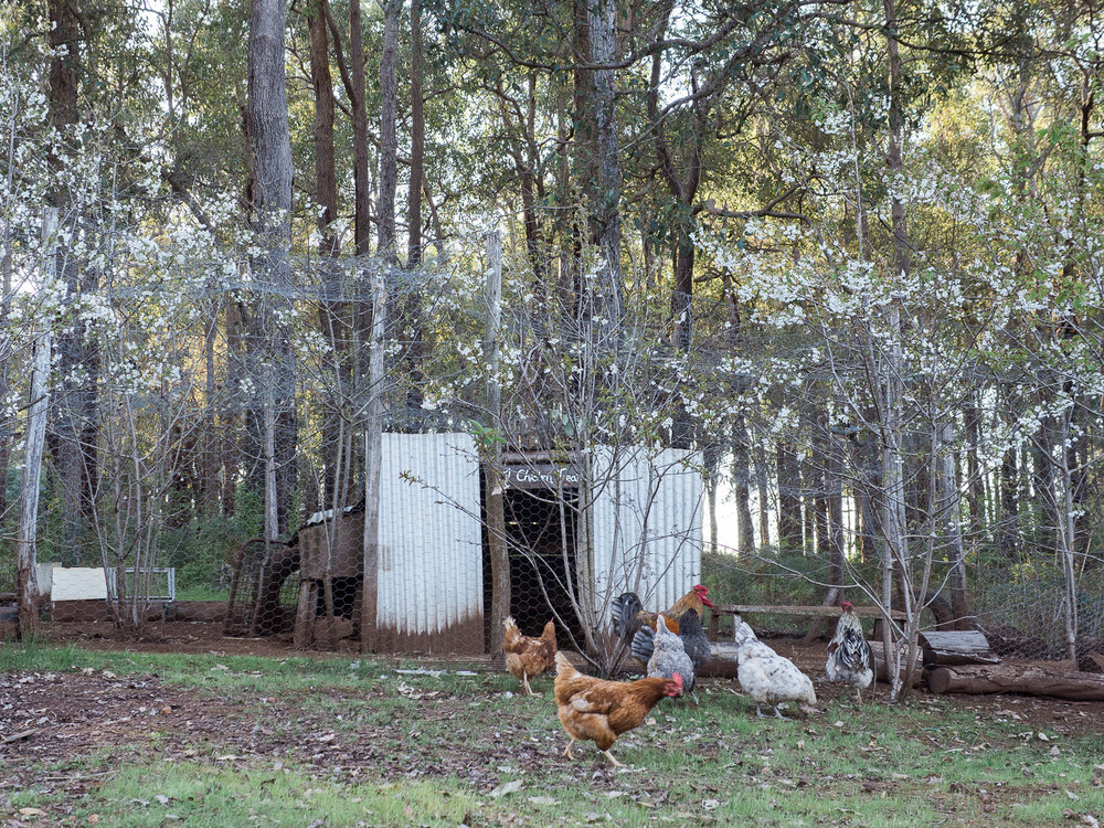 What farm wouldn't be complete without chickens.