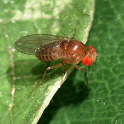 Adult Female Drosophila melanogaster
