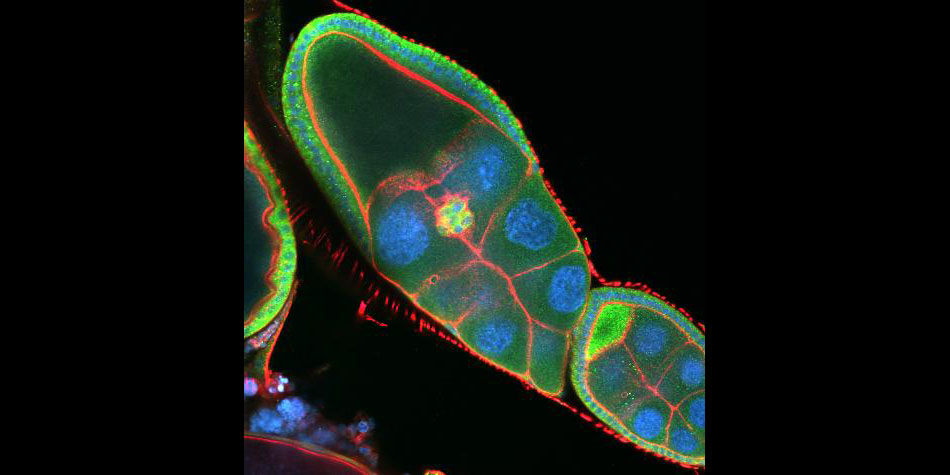 Drosophila Egg Chamber