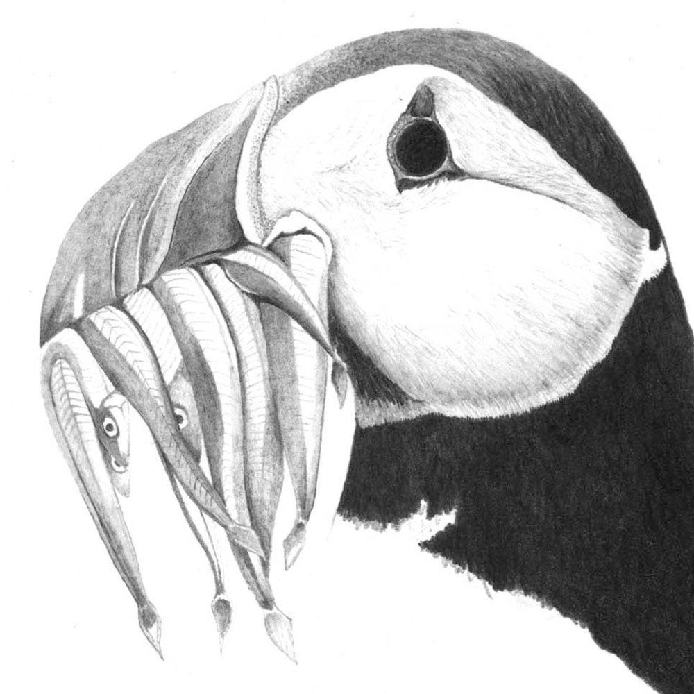 puffin.jpg