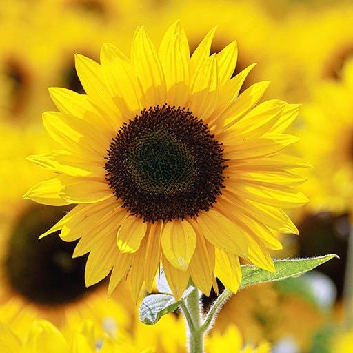 sunflower plants and sunflower seeds