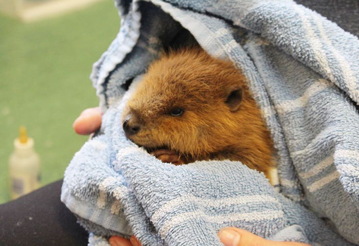 In honor of the last time Kaarin will (probably) ever get to talk about beavers on the show, may we present some particularly adorable ones?