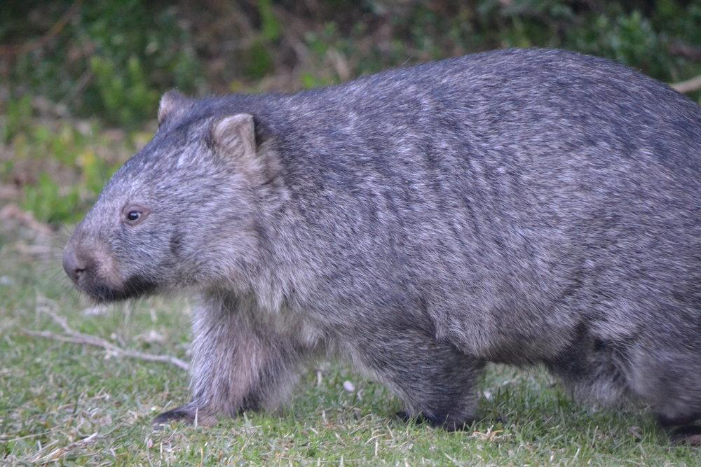 wombat credit Andrew Davidson.JPG