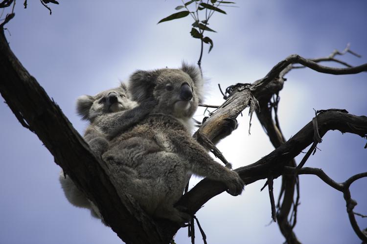 Koalas on Raymond Island, Gippsland Lakes.jpg