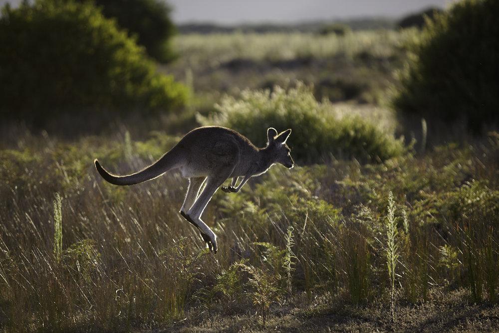 kangaroo.jpg