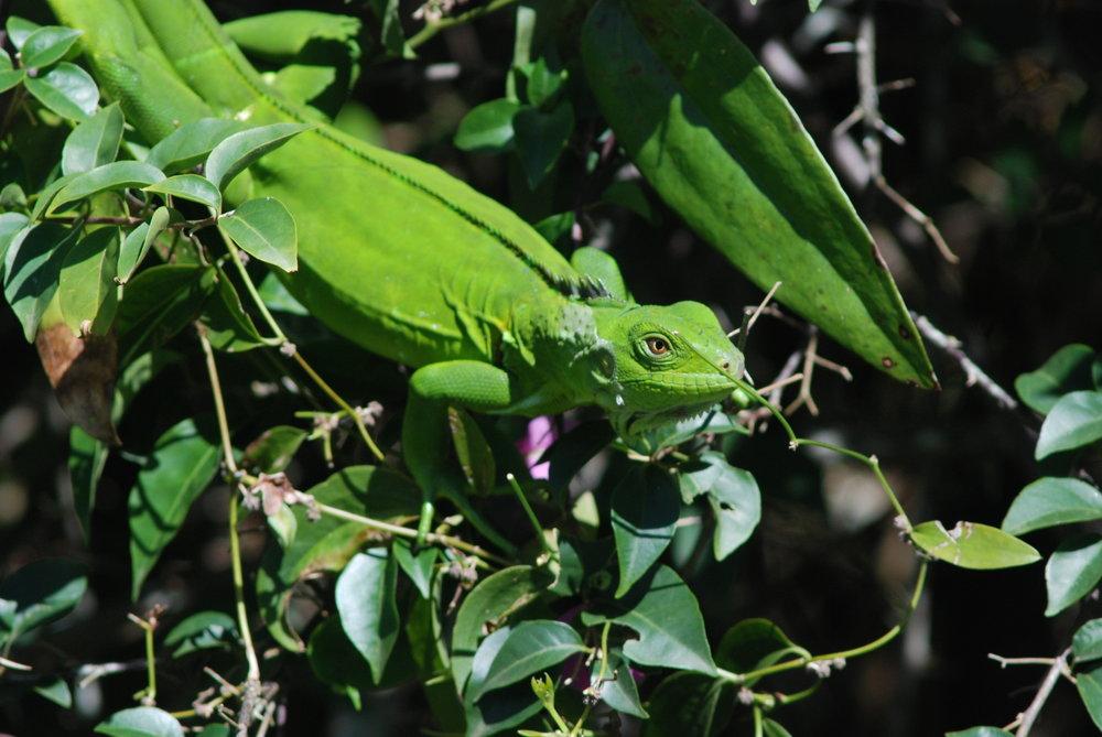 Green Iguana, Arnos Vale - Tobago