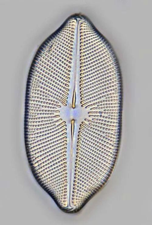 diatom43tt.jpg