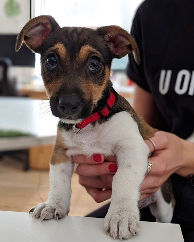 We are so excited to have Oswald in the office today for #bringyourdogtowork day! He is just the cutest little thing!! #jackrussell #puppy #eventprofs #events #happyfriday