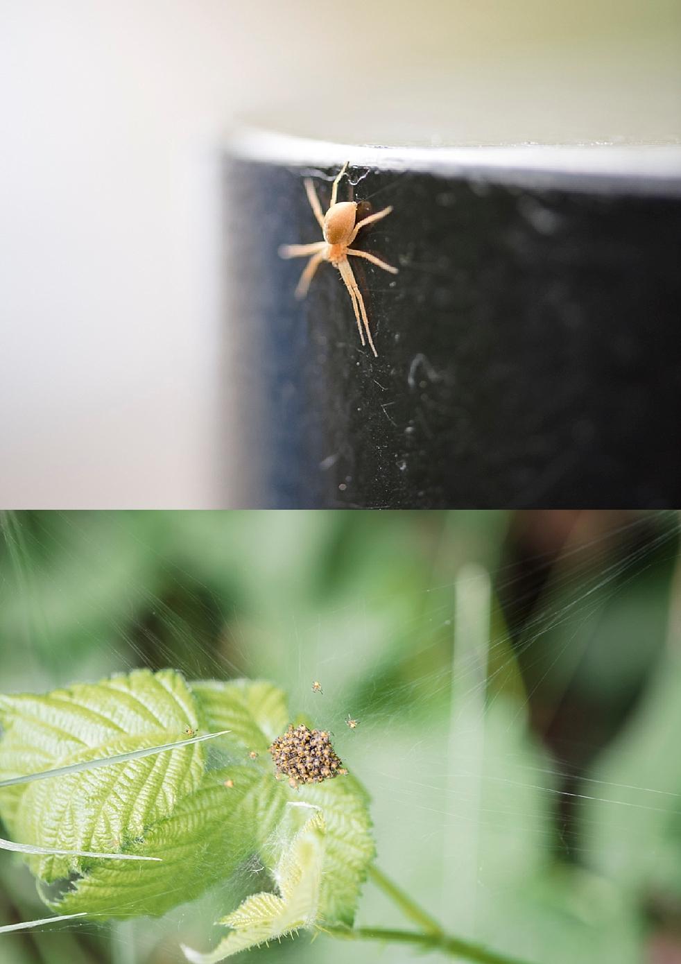 spiders macro lens queen Elizabeth park Vancouver