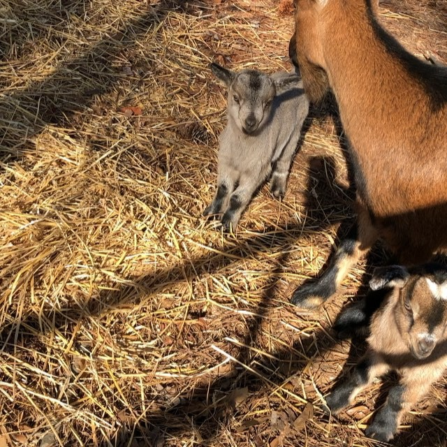 chatthillscharterschool  We welcomed 2 new baby goat over the holidays!! We are so excited, but we don't have names yet. We are asking for your help in naming our 2 new male goats. Please leave your suggestions in the comment area!! #learningisinournature  #chatthillscharter