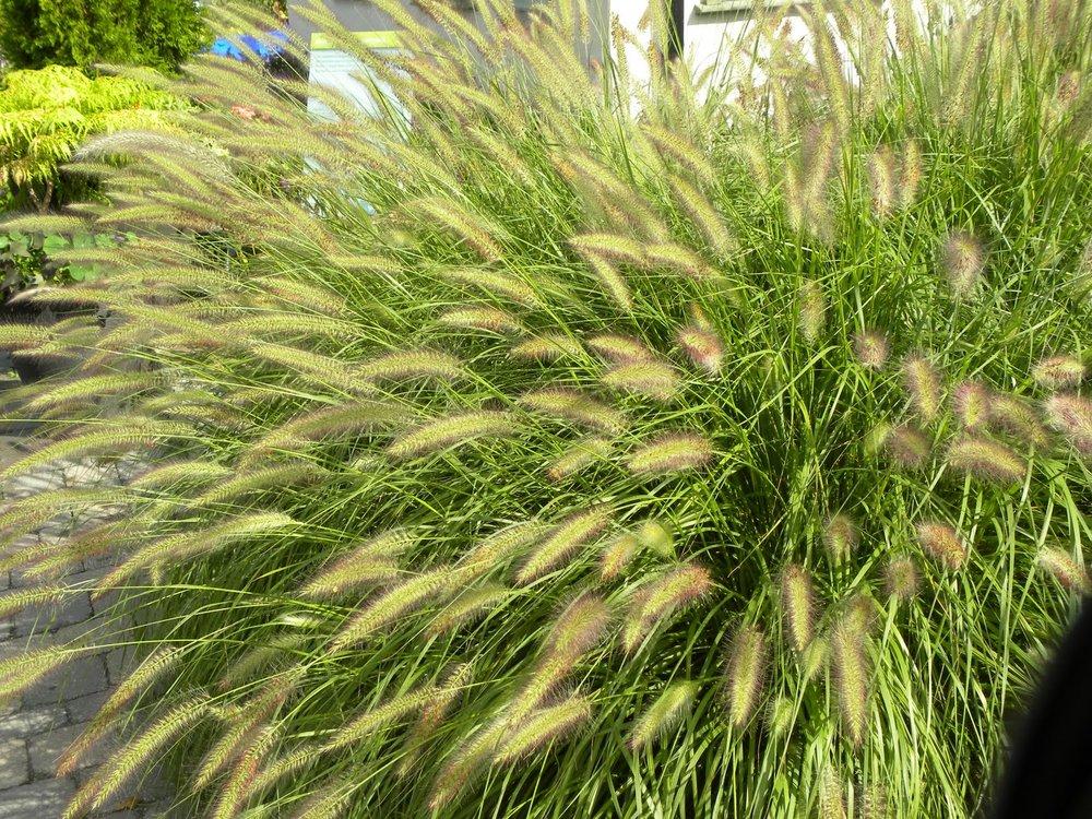 Cassian Fountain Grass.jpg