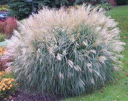 Maiden Grass.jpg