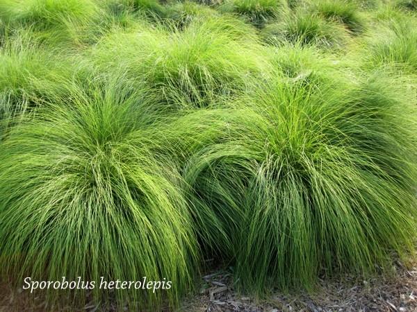 Prairie Dropseed Grass.jpg