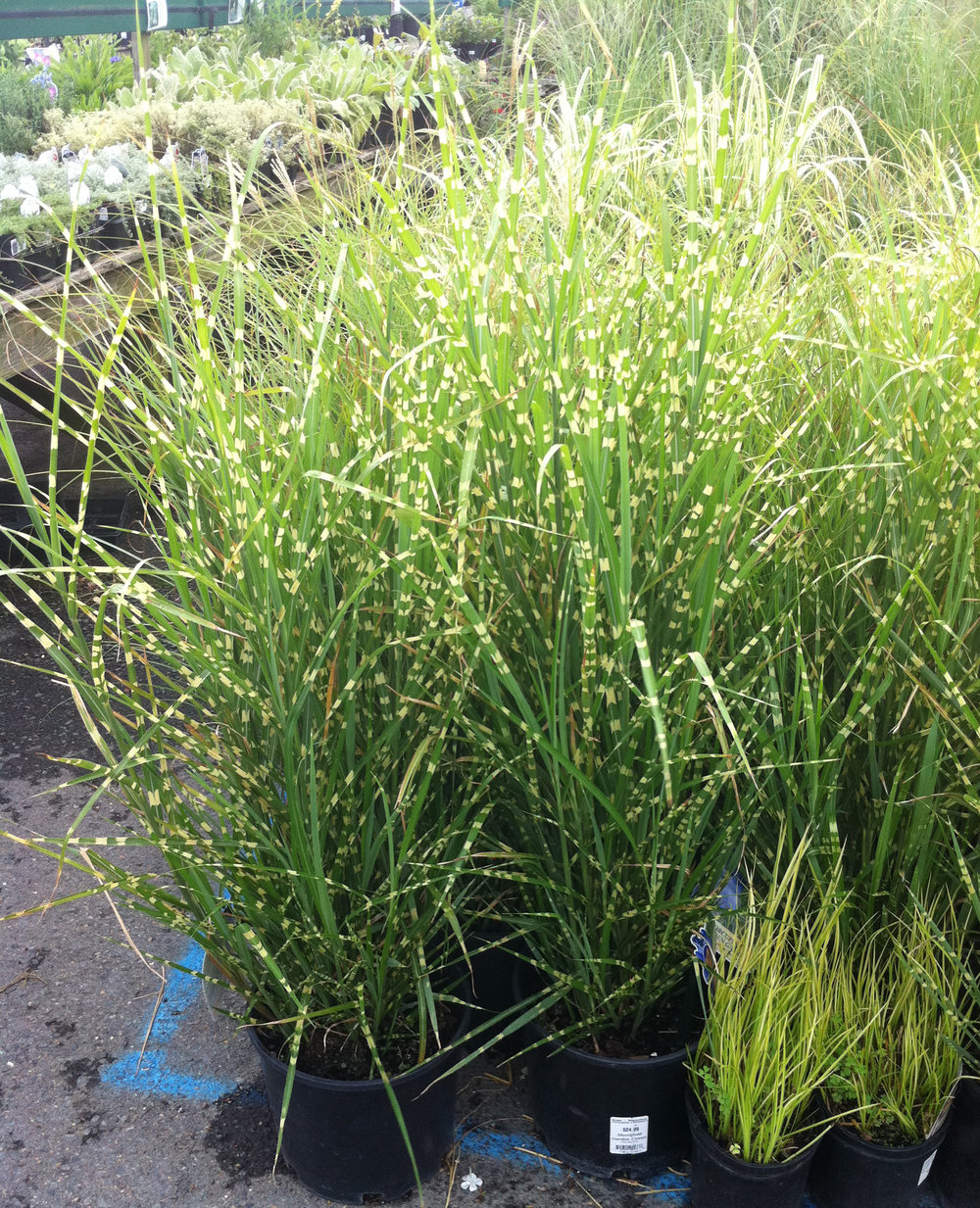 Porcupine Maiden Grass.JPG