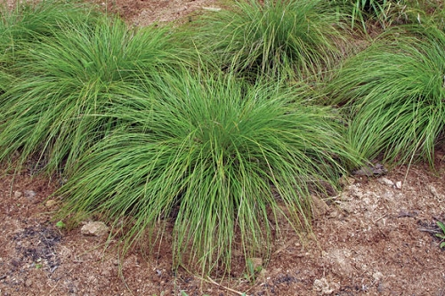 Carex Pennsylvanica.jpg