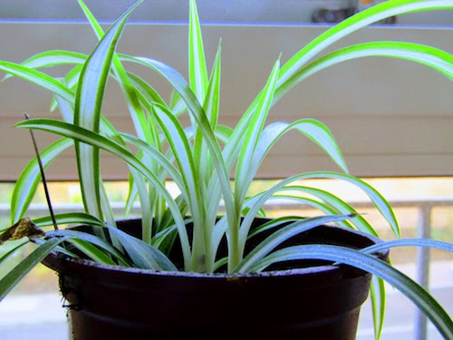 Bedroom Spider Plant.jpg