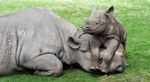 Rhino mom and baby