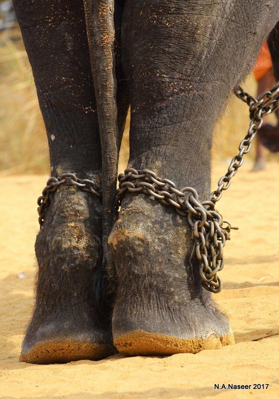 Elephants_of_Kerala_F18_9689.jpg