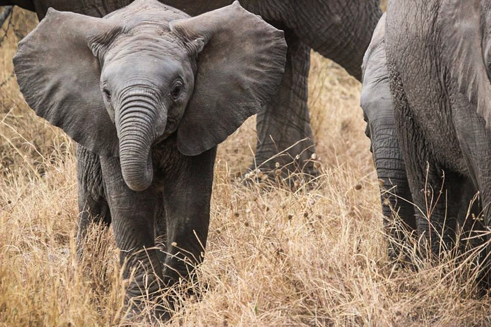 elephant-baby-285515_960_720.jpg
