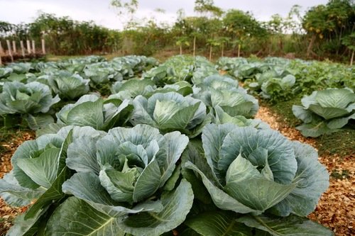 cabbage on the farm.jpg