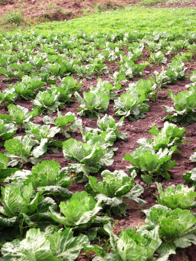 cabbage organically grown.jpg