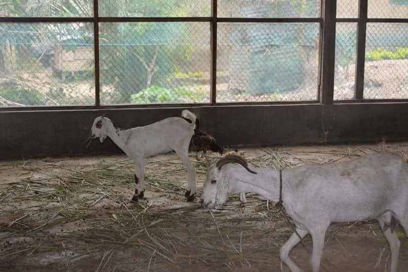 Goats 2015.png