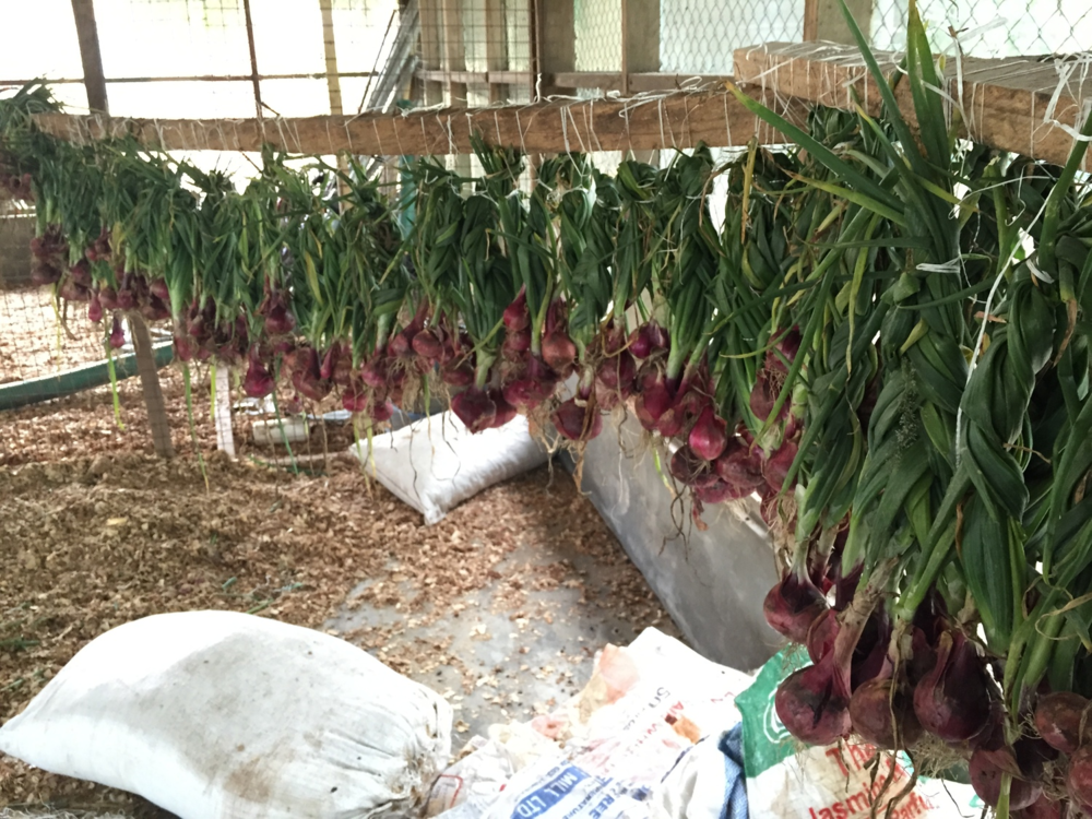 onions drying at PHG farm.png