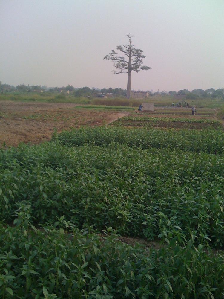 PHG farm in 2006 before the tree was cut.jpg