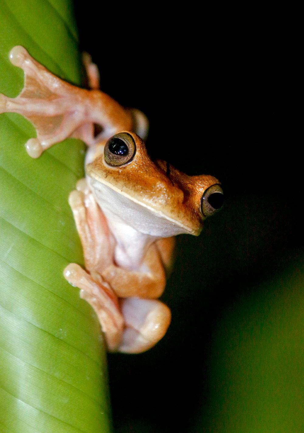 Gladiator Tree Frog on Leaf