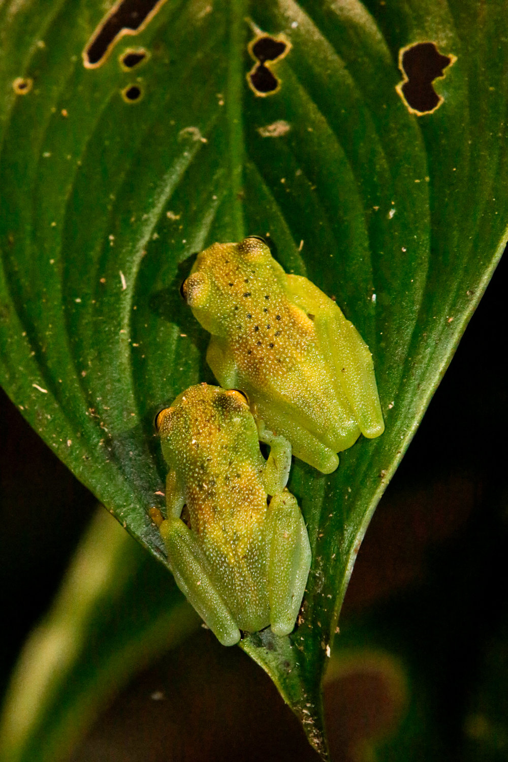 Two Granular Glass Frogs on a Leaf