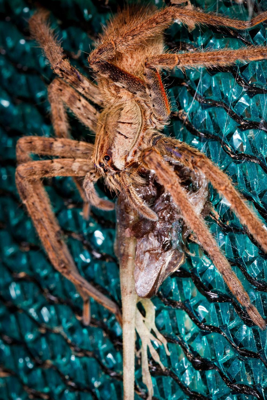 Brazilian Wandering Spider eating Basilisk Lizard