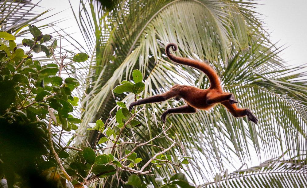 Flying Spider Monkey