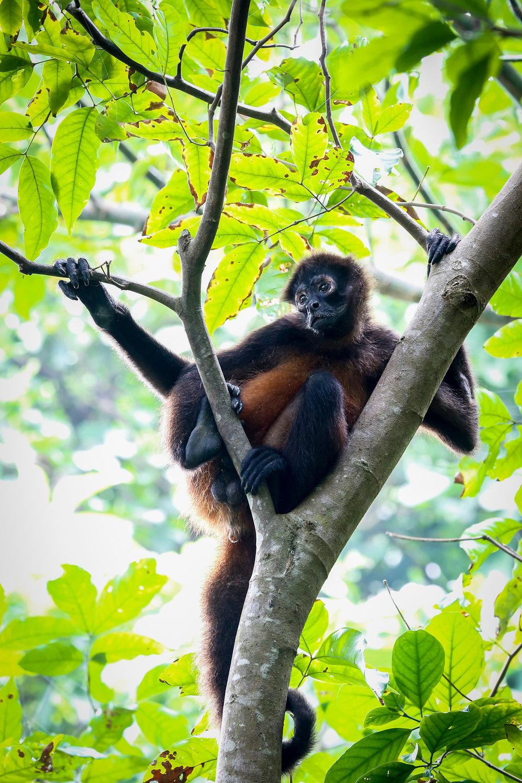 Forlorn Spider Monkey