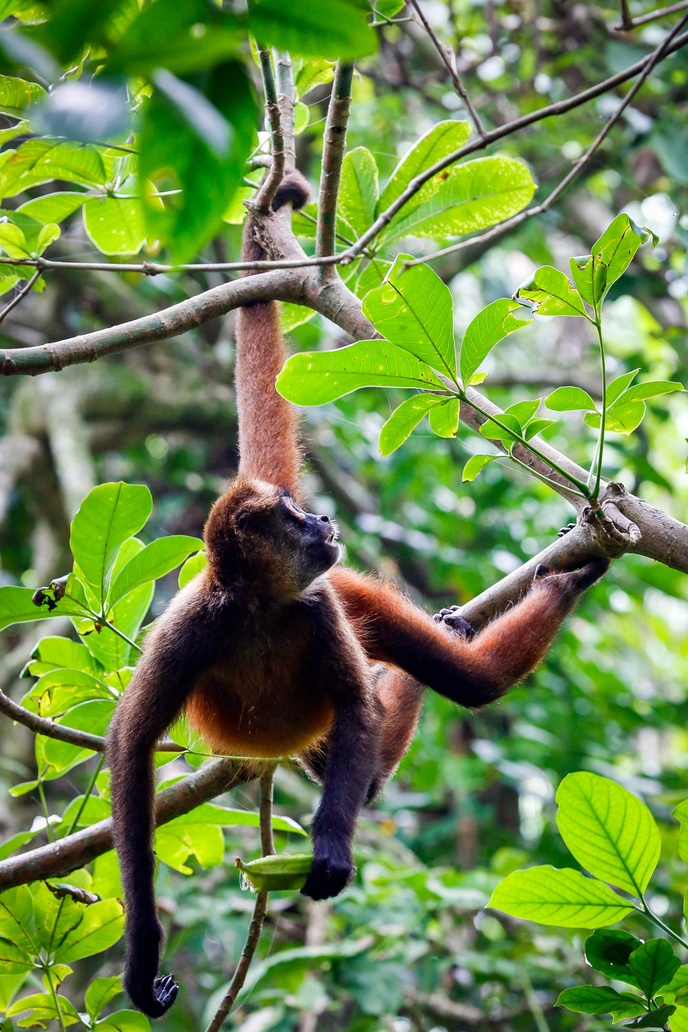 Spider Monkey by the Tail