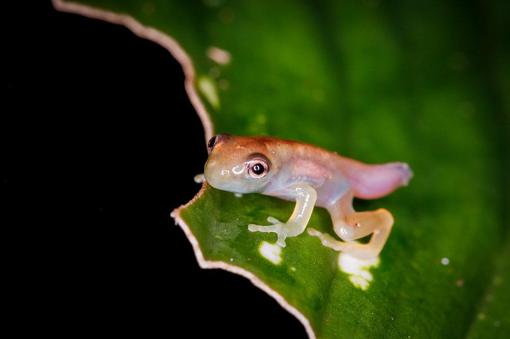 Frogling in Metamorphosis