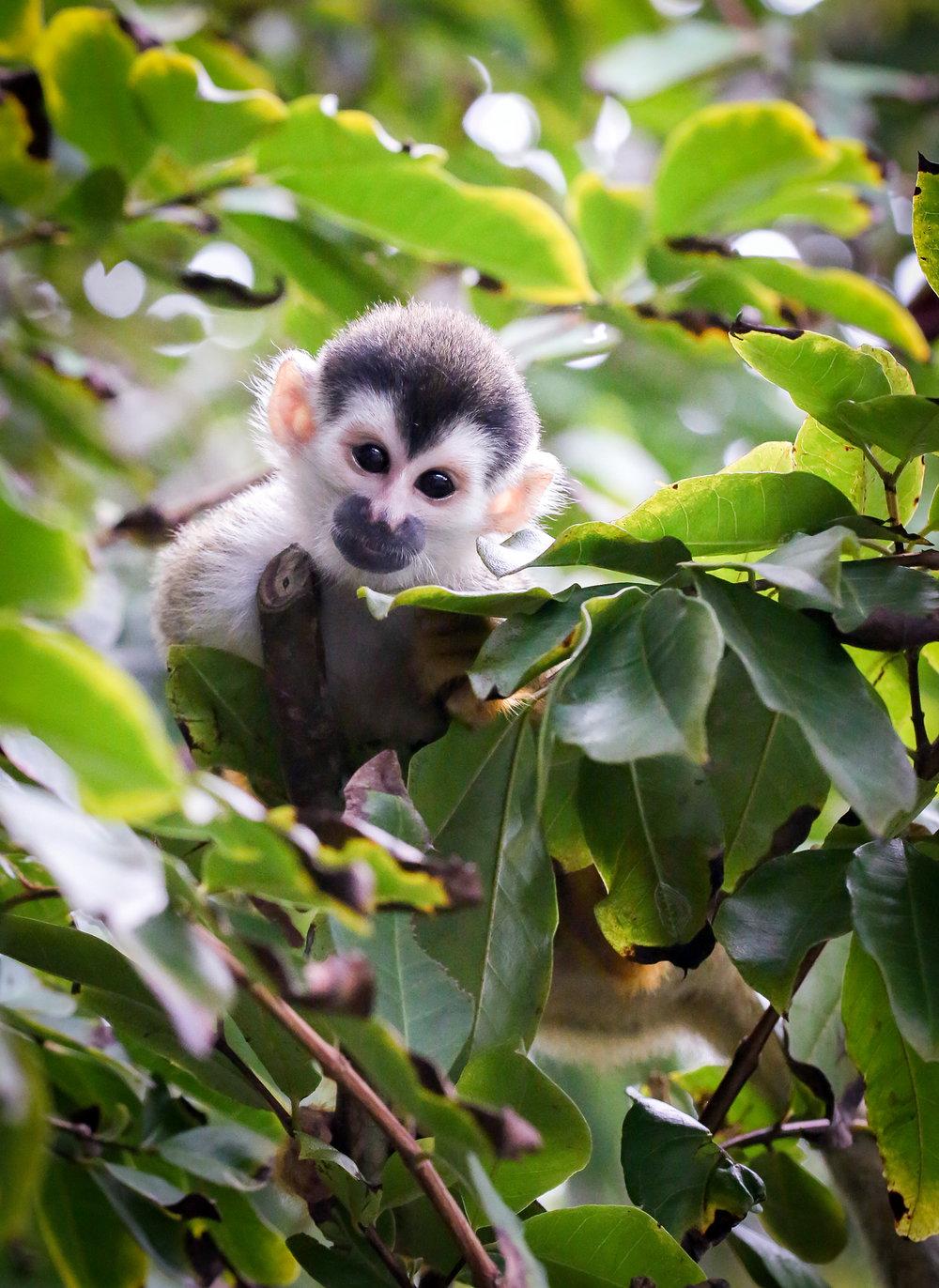 Squirrel Monkey or Forest Elf?
